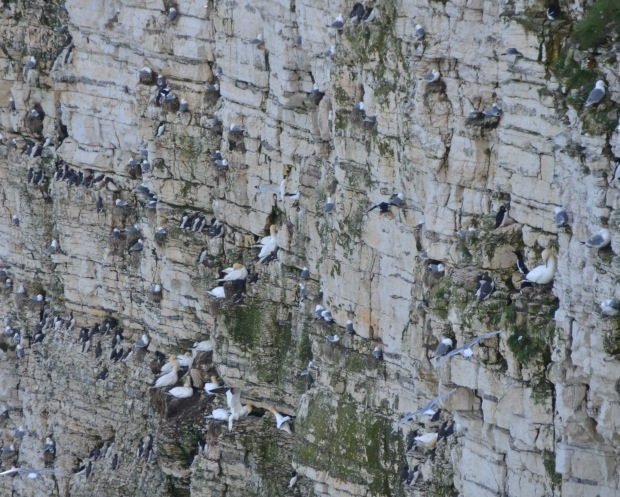 Bird Colonies in Bempton Cliffs
