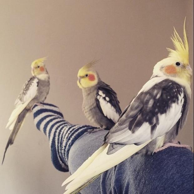 Eva's Cockatiels